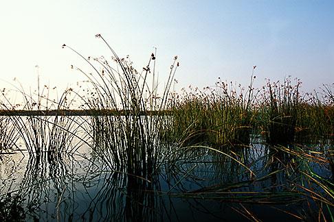 image 2-590-1 California, Delta, Tule reeds