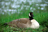 geese stock photography | California, Carmel, Canada Goose (Branta canadensis) on nest, image id 5-200-24