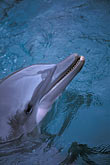 wildlife stock photography | Bermuda, Dockyard, Dolphin, image id 1-600-9