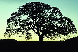0-8-22 stock photo of California, Mt Diablo, Oak Tree at dawn