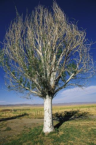 image 1-381-8 California, San Luis Obispo County, California Valley, Solitary tree
