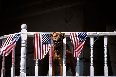 1-640-72  stock photo of Flags, Ameican Flags and balcony  with dog