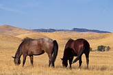 dry stock photography | California, Contra Costa, Horses grazing near Byron, image id 2-179-33