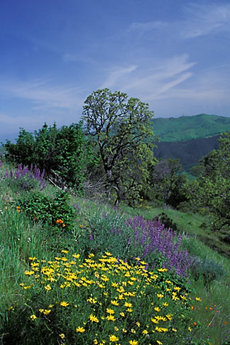 image 2-36-20 California, Mt Diablo, Spring flowers on East Trail