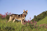 standing stock photography | Dogs, Wolf hybrid and husky mix, image id 2-39-15