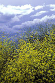 blue stock photography | California, Sacramento Valley, Mustard flowers and clouds, image id 2-41-18