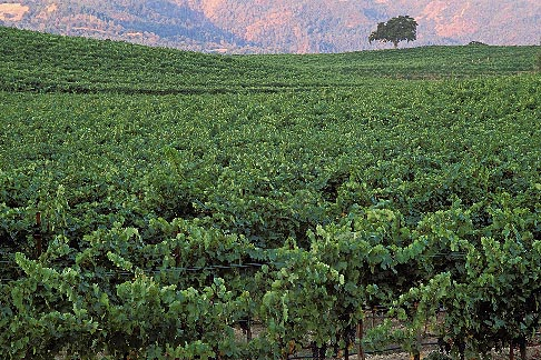 image 3-302-31 California, Napa County, Vineyards at dawn, Silverado Trail