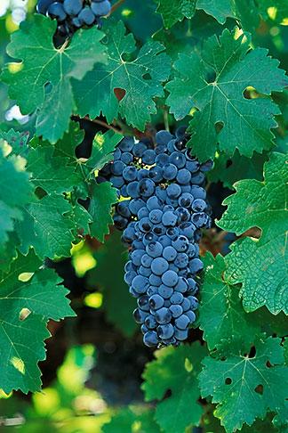 image 3-305-25 California, Napa County, Cabernet grapes