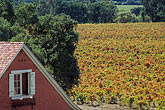 red house stock photography | California, Napa County, Vineyards & house in Autumn, Silverado Trail, image id 3-307-35