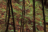 botanical stock photography | California, Big Sur, Trees & ferns, Pfeiffer Big Sur State Park, image id 3-313-36