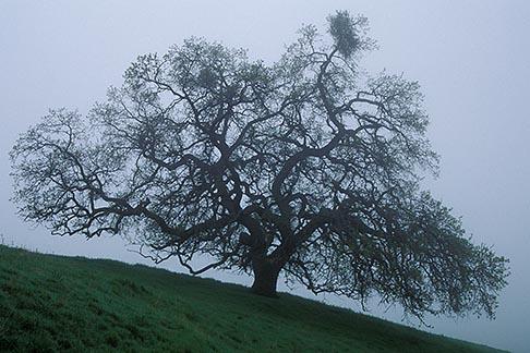 image 3-60-37 California, Mt Diablo, Oak and morning fog