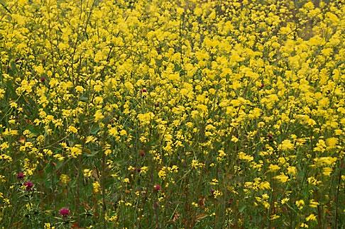 image 4-217-26 California, Benicia, Mustard flowers