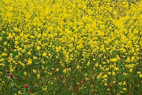 image 4-217-27 California, Benicia, Mustard flowers