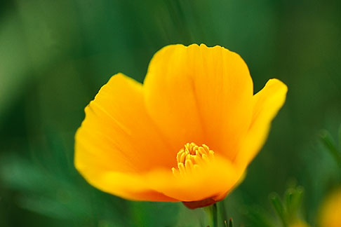 image 4-702-69 California, Marin County, California Poppy Eschscholzia Californica