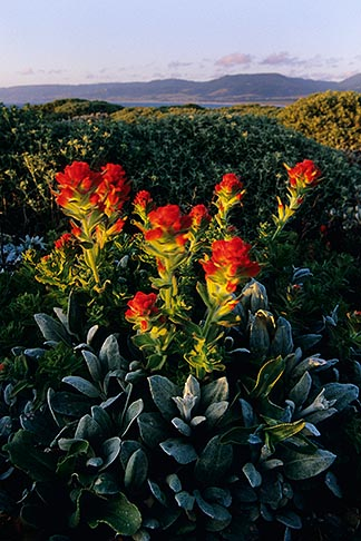 image 4-795-91 California, Point Arena, Indian paintbrush