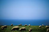 blue sky stock photography | California, Point Arena, Sheep grazing on coastal bluff, image id 4-796-47