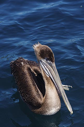 image 4-930-5497 Birds, Brown Pelican