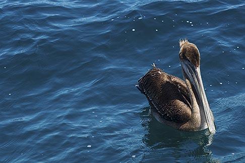 image 4-930-5498 Birds, Brown Pelican
