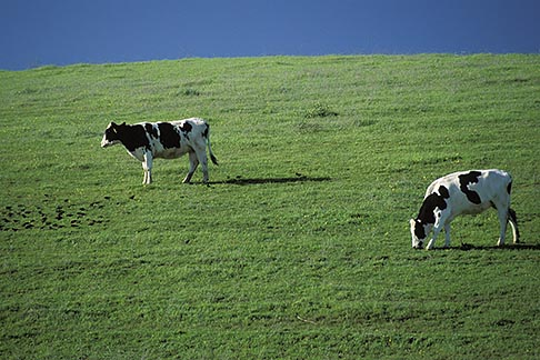 image 4-96-6 California, Benicia, Hillside with cattle