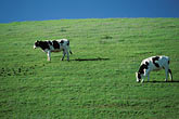 blue sky stock photography | California, Benicia, Hillside with cattle, image id 4-96-6