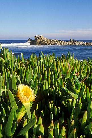 image 4-989-21 California, Pacific Grove, Ice plant in bloom on coast