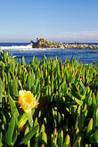 shore stock photography | California, Pacific Grove, Ice plant in bloom on coast, image id 4-989-21