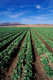 straight line stock photography | California, Central Valley, Lettuce fields, image id 5-127-14