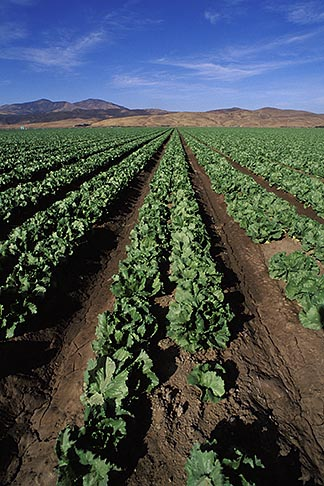 image 5-127-9 California, Central Valley, Lettuce fields