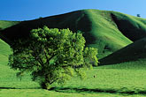 hill stock photography | California, Contra Costa, Oak tree in springtime near Brentwood, image id 5-147-20