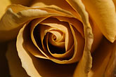 image 5-630-9987 Flowers, Yellow brown rose