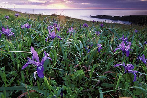 image 5-641-1 California, Mendocino County, Sunset and wild iris, Albion Cove