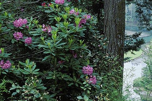 image 5-641-3 California, Mendocino County, Albion Ridge, Wild Rhododendron