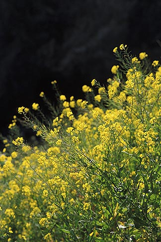 image 5-642-32 California, Mendocino County, Mustard flowers