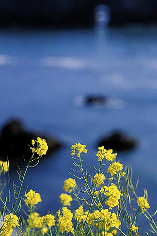 image 5-642-33 California, Mendocino County, Mustard flowers and ocean