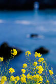 yellow stock photography | California, Mendocino County, Mustard flowers and ocean, image id 5-642-33