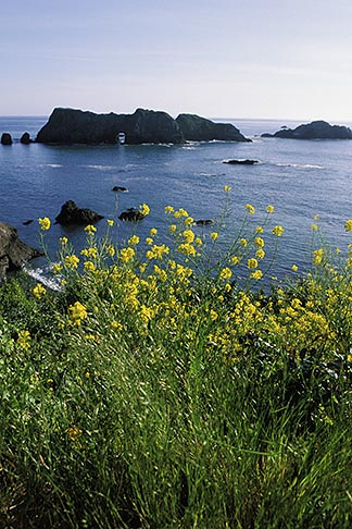 image 5-642-36 California, Mendocino County, Elk, Mustard flowers and Arch Rock