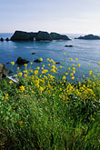 bloom stock photography | California, Mendocino County, Elk, Mustard flowers and Arch Rock, image id 5-642-36