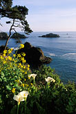 shore stock photography | California, Mendocino County, Elk, Coastal bluffs and calla lilies, image id 5-642-46