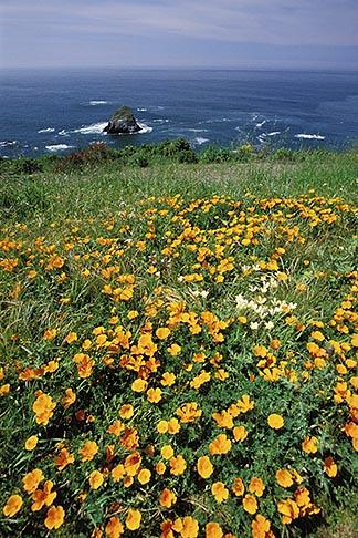 image 5-642-73 California, Mendocino County, California poppies, Navarro Bluff