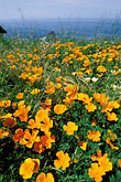 sea stock photography | California, Mendocino County, California poppies, Navarro Bluff, image id 5-642-85