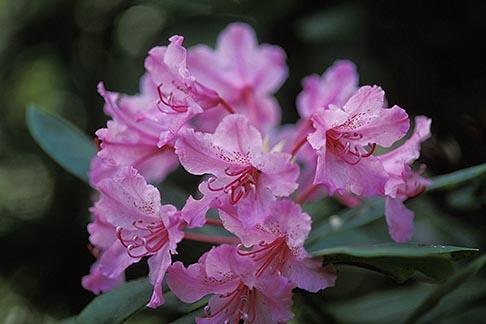 image 5-643-15 California, Mendocino County, Albion Ridge, Wild Rhododendron
