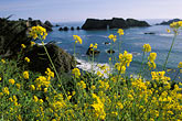 horizontal stock photography | California, Mendocino County, Elk, Arch Rock and Spring mustard flowers, image id 5-643-37