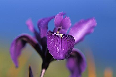 image 5-643-49 California, Mendocino County, Wild Iris