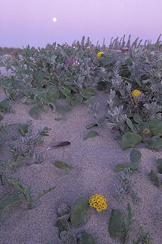 image 5-670-15 California, Moss Landing, Salinas River State Park, Moon and dune flowers