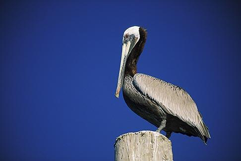 image 5-670-34 California, Brown Pelican