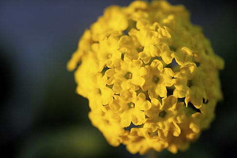 image 5-671-18 California, Moss Landing, Yellow Sand Verbena, Abronia latifolia