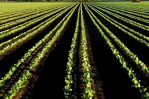 image 5-672-6 California, Monterey County, Strawberry fields