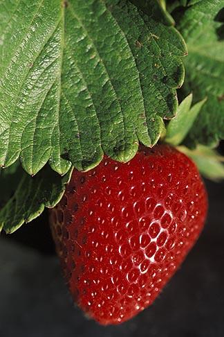 image 5-673-29 California, Monterey County, Fresh Strawberry
