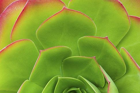 image 5-780-583 Plants, Succulent, Ice plant, Carpobrotus edulis