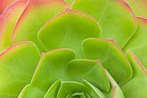 ice stock photography | Plants, Succulent, Ice plant, Carpobrotus edulis, image id 5-780-583